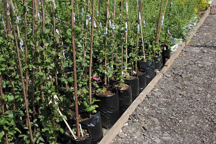 Саженцы для закладки высокоурожайных садов
